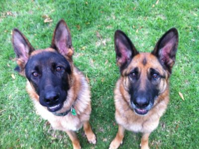 Jasper & Indi begging for a treat